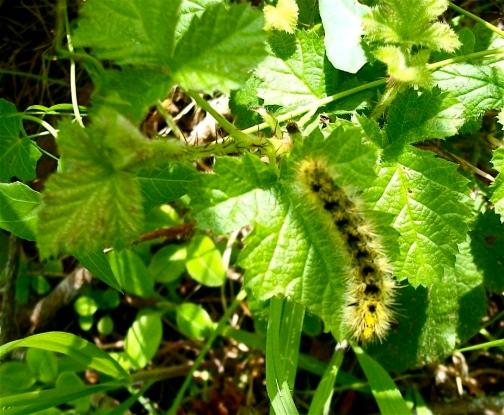 caterpillar leaves