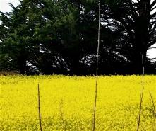 field of mustard