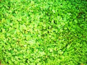 gardenbabytears