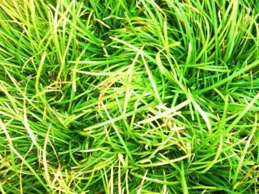 gardengrass