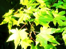 gardenmaple