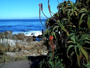monterey giant succulent