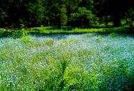 periwinkle field