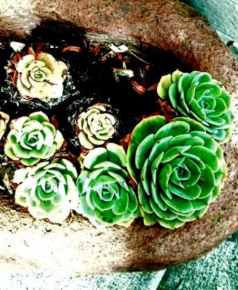 succulent rock