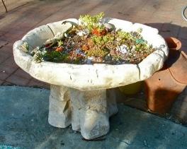 Bird bath = succulent nursery