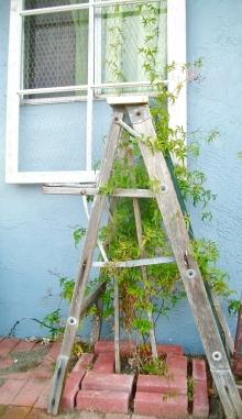 Old ladder + window frame = trellis
