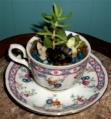 succulent teacup